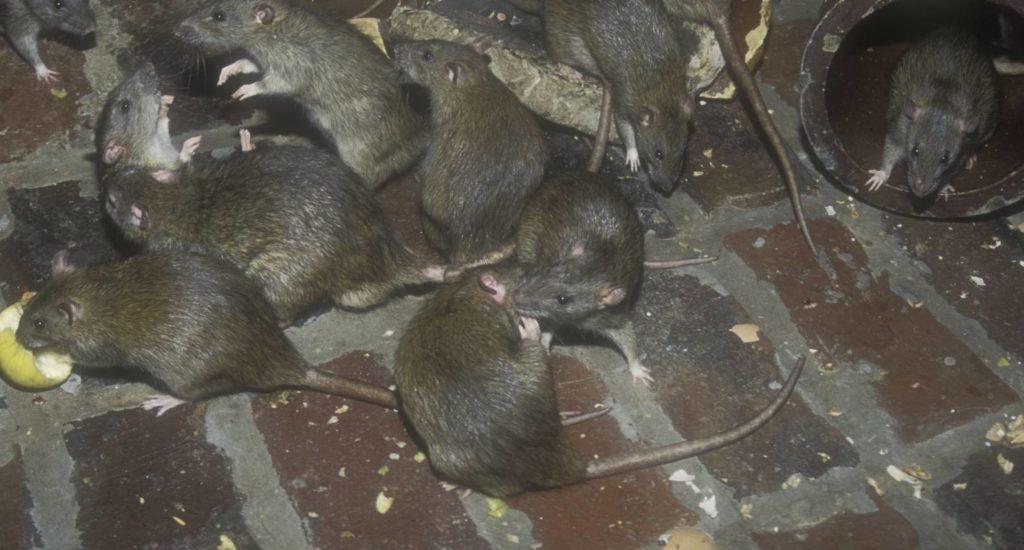 уничтожение крыс в Долгопрудном